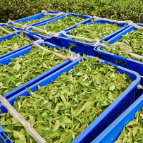 Tea Harvesting Timeline (seasonality in tea)