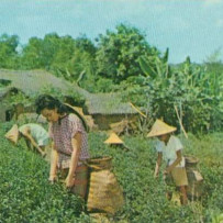 History of Tea in Taiwan